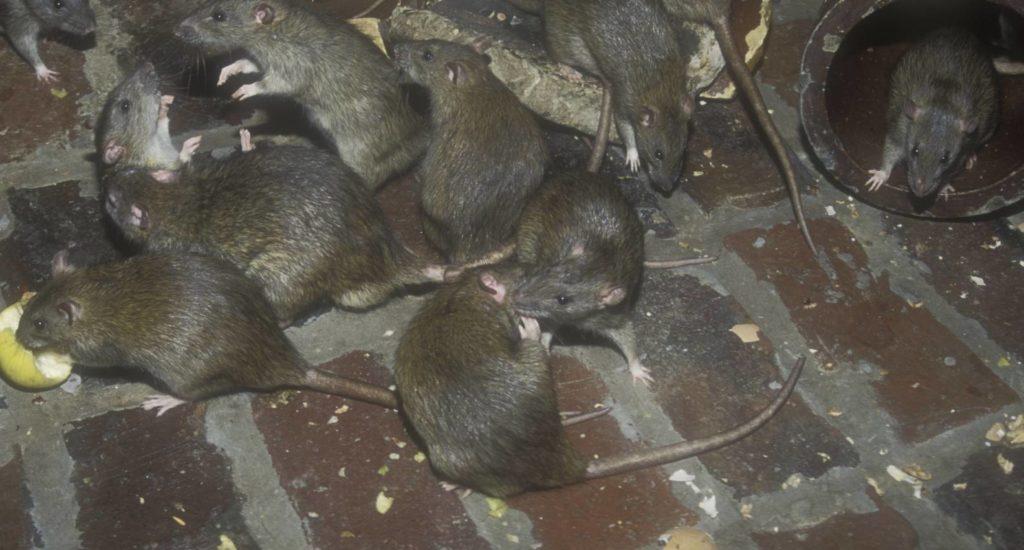 уничтожение крыс в Абакане