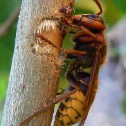 Уничтожение шершней в Абакане